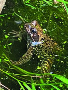 Wasserfrosch im Lütt Diek