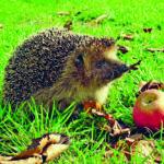 Igel im Herbstgarten mit Apfel