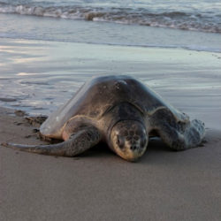 Schildkröten - Nomaden der Meere