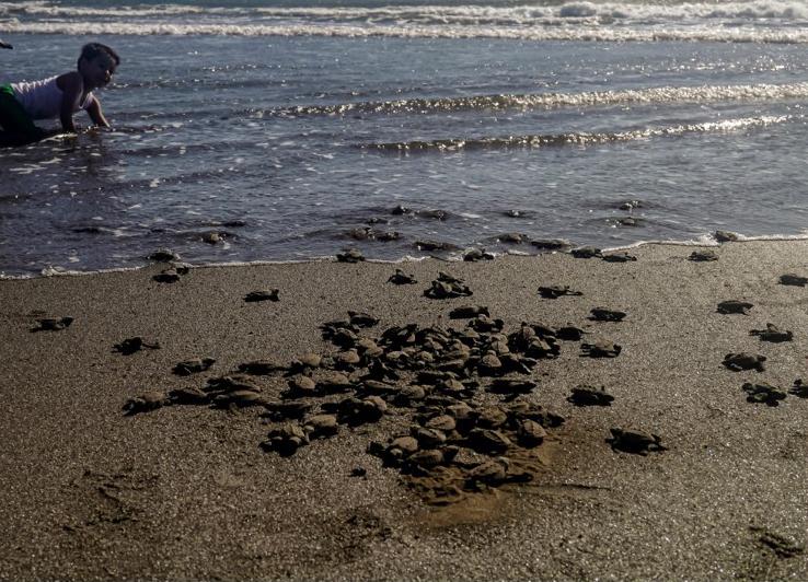 geschlüpfte Schildkröten laufen ins Meer