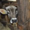 Googy, der Stier im Museumsdorf Volksdorf schaut um die Ecke