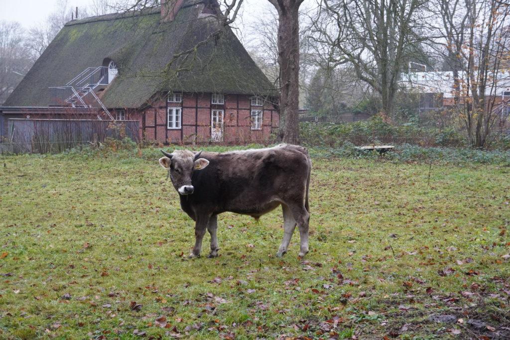 Ochse Goofy auf der Weide des Museumsdorf Volksdorf