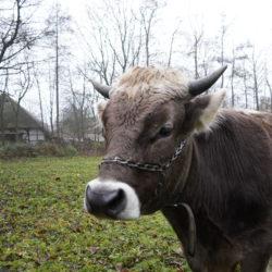 Ochse Goofy auf der Weide in Volksdorf