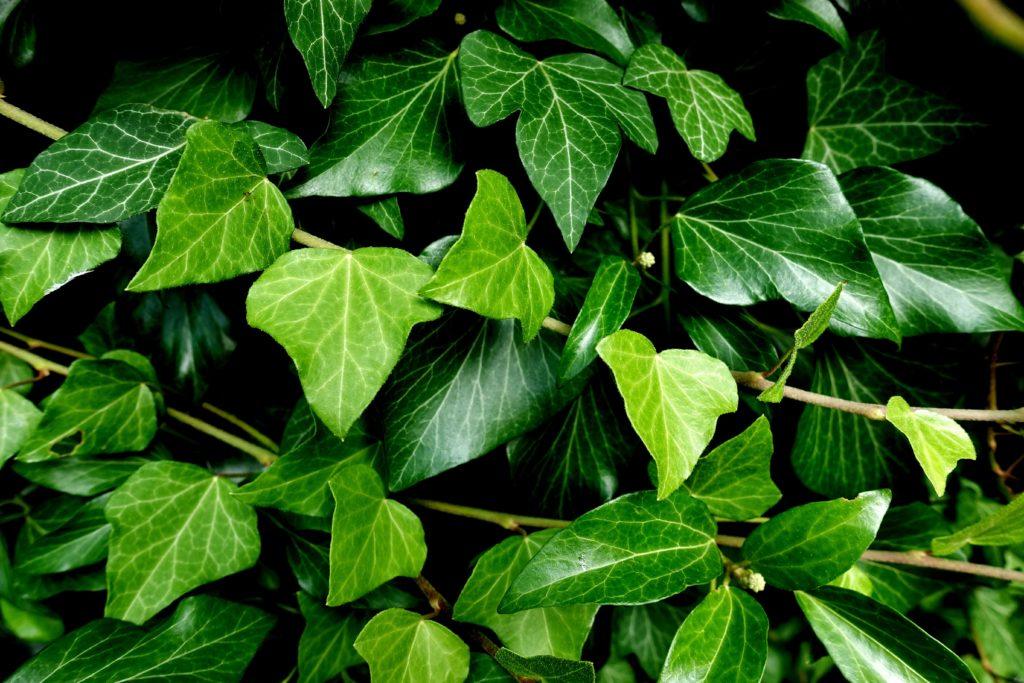 Der Efeu (Hedera helix) ist einer der Kandidaten zur Wahl für die Giftpflanze 2021. Er ist stark giftig und als Zimmerpflanze, aber auch als Garten- und Wildpflanze bekanntFoto: pixabay