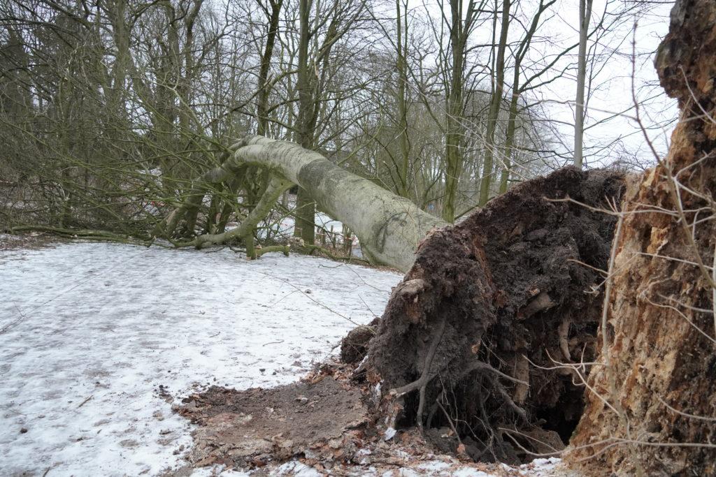 Umgestürzter Baum an den Teichwiesen in Volksdorf