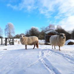 Schafe in der Winterlandschaft Höltigbaum