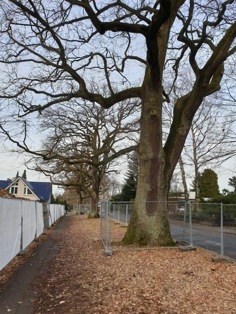 Die über 120 Jahre alten Eichen im Maetzelweg wurden während der Erdarbeiten erst auf Initiative der Anwohner geschützt