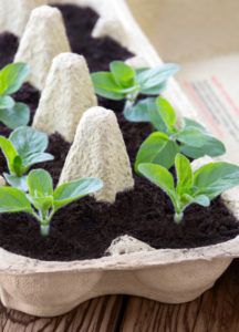 Pflanzen züchten im Eierkarton