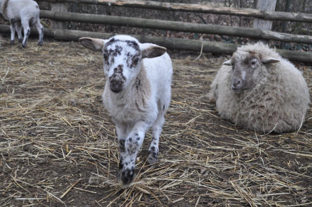 Ein Lamm mit seiner Mutter im Volksdorfer Museumsdorf