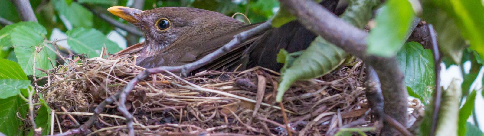 Amsel im Nest