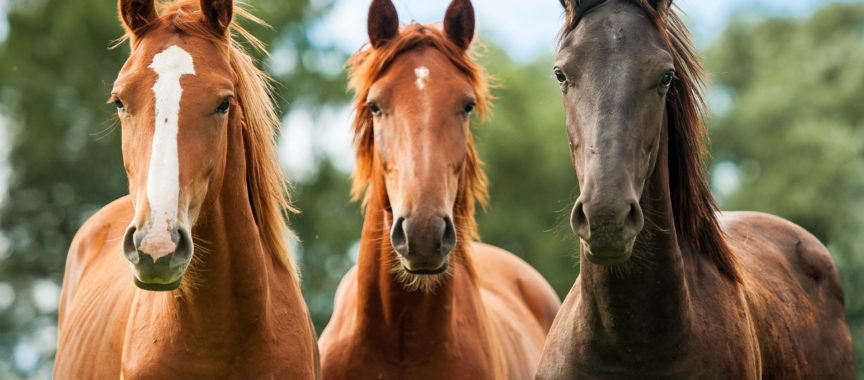 Drei Pferde, Duvenstedt erleben