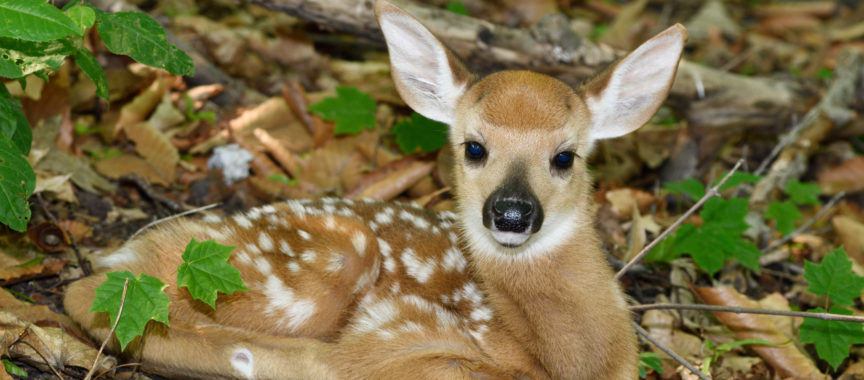Day old tiny white tailed deer fawn with spots lying alone in forest while mother is out foraging Toronto