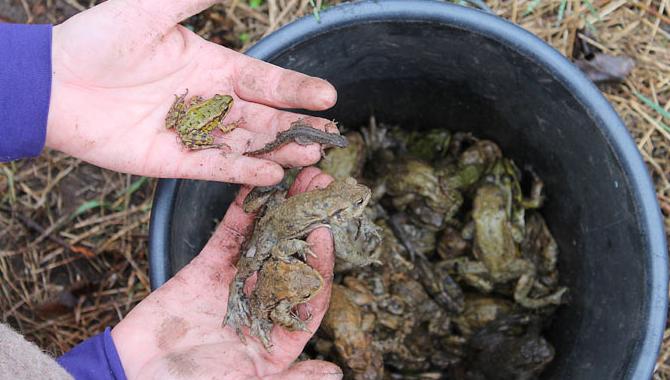 Deutlich weniger Amphibien bei Sammelaktionen vermeldet der NABU. Foto: Andrea Szymanski
