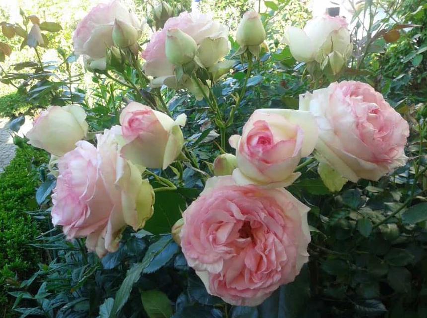 Blühende Schönheiten im Garten von Familie Müggenburg, Hammoorer Weg 2 in Bargteheide.