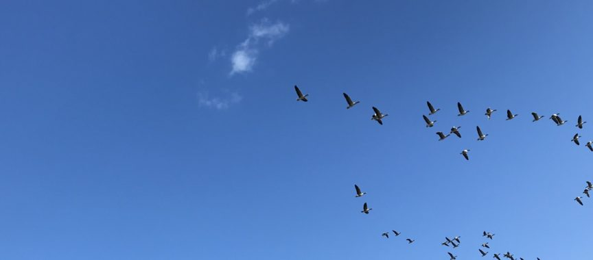 Im Duvenstedter Brook lassen sich die Zugvögel in ihren Formationen beobachten.