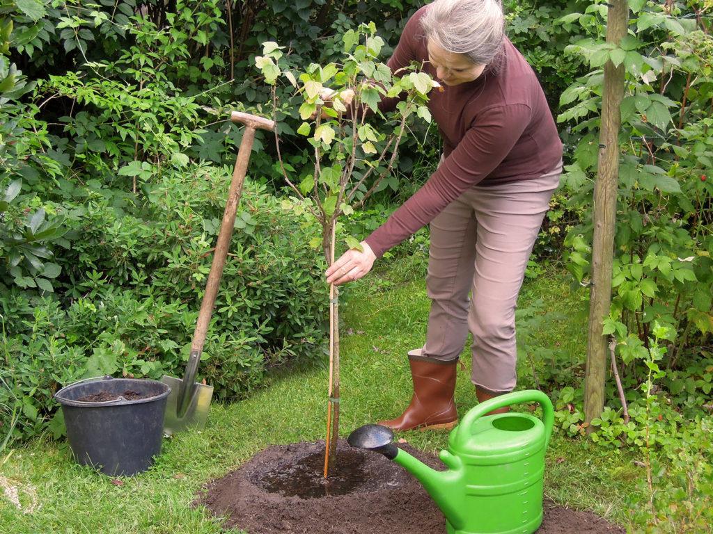 Frau pflanzt einen Obstbaum ein